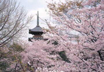 La fioritura dei ciliegi