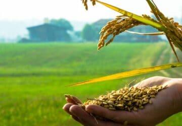 Vercelli capitale europea del riso
